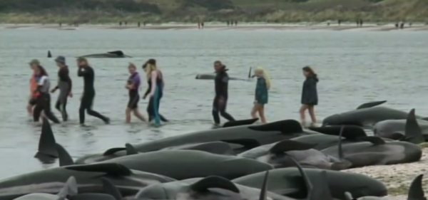 Over 250 whales dead after mass stranding in New Zealand