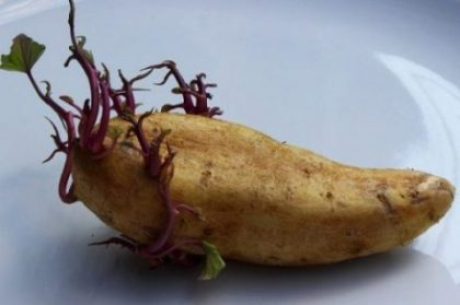 Study shows that potatoes can grow on Mars; experiment was a success