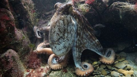 Could the octopus be behind its own intelligence? Smart DNA