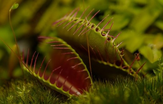 carnivorous plant fly trap
