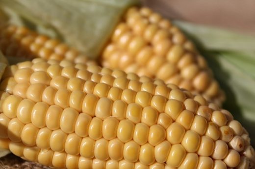 corn; biofuel source