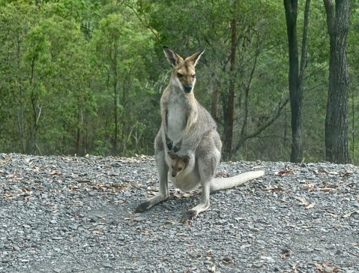 female with baby (joey)