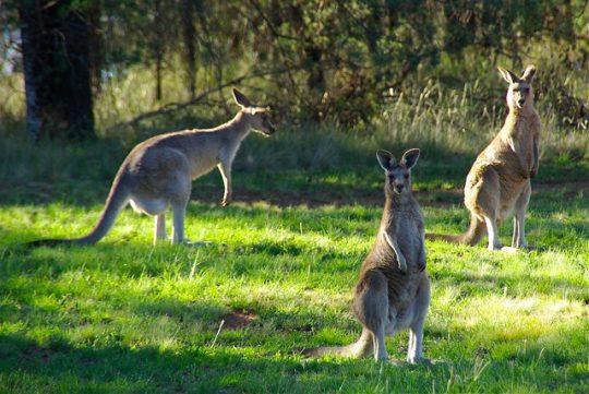 kangaroos in wild