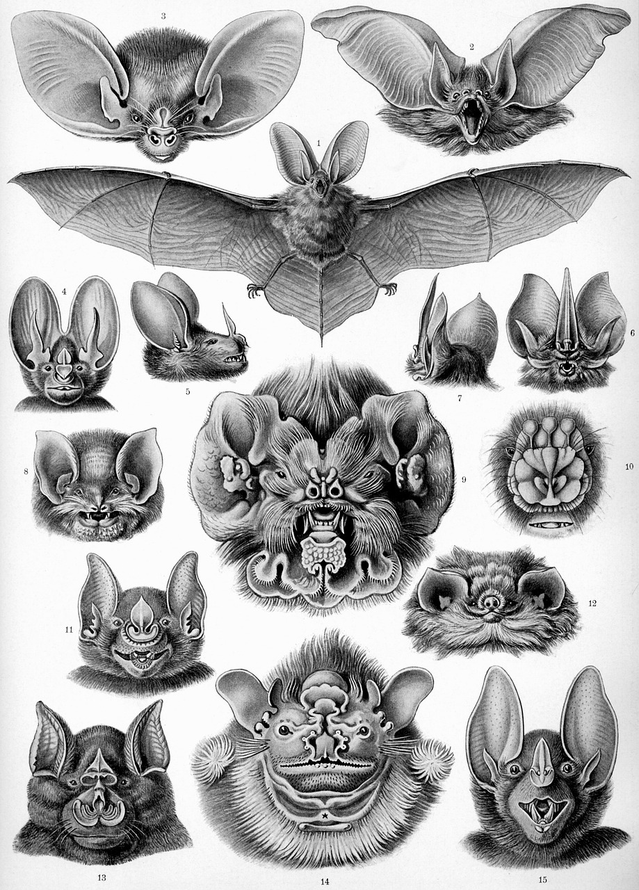 Chiroptera, order of Bat types based on head shape