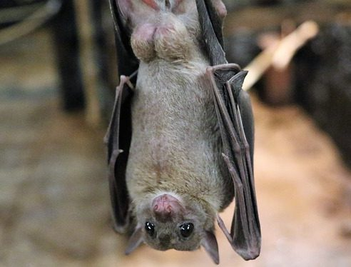 Bats; friend or foe?, Fruit Bat