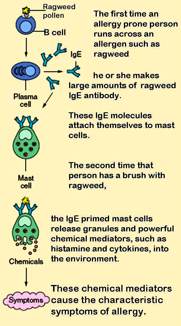 Mast cells, natural production of IgE