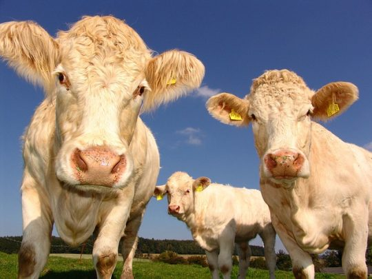 protein, meat from cows