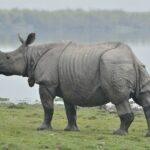Greater (Indian) Rhinoceros